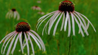 Cellulite addio con l'echinacea pallida