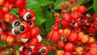 Guaranà, un energizzante che fa dimagrire