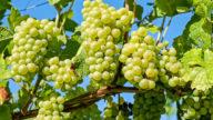 È quasi autunno, scopriamo i benefici dell'uva (anche per la pelle)